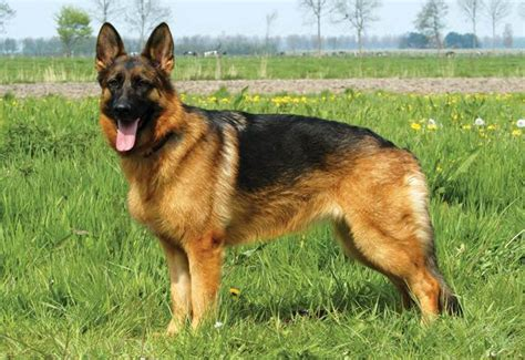 le berger near me canadian kennel canin canadien