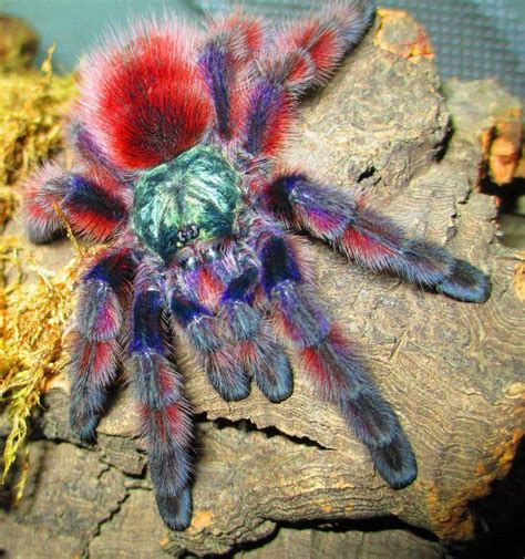 The Pink Tarantula antilles pink toe tarantula avicularia versicolor this