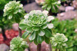 garten pflanzen die wenig wasser brauchen rosettendickblatt hauch kanaren im eigenen garten