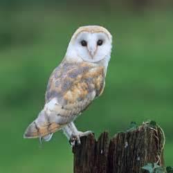 barn owl viola stirling s nature diary 1st september 1919