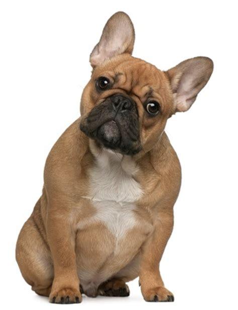 Stop Bulldog Shedding by Bulldog Breed Review Argos Pet Insurance