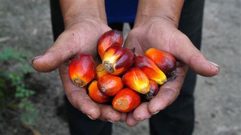 Minyak Kelapa Sawit Saat Ini ihwal kelapa sawit indonesia masih hadapi tantangan