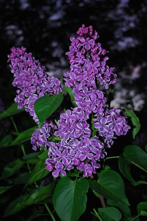 purple lilacs i love lilac bushes one of my favorites flowers pinterest