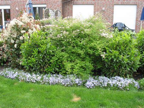 Kirschlorbeer Hecke Welche Sorte 2400 by Kirschlorbeer W 228 Chst Kaum Was Tun Mein Sch 246 Ner Garten