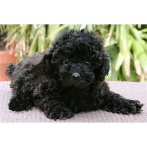 puppies for sale riverside ca puppies for sale schnoodles in riverside california x10 puppys for