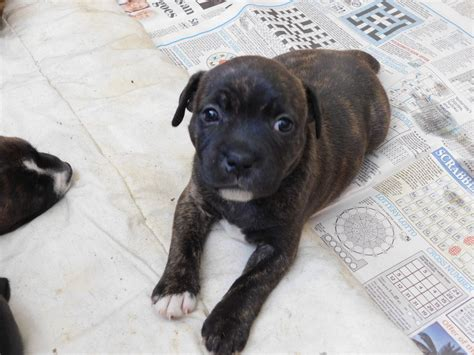 staffy puppies for sale 6 staffordshire bull terrier puppies for sale lymington hshire pets4homes