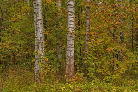 birch color photo 1270 08 fall colors of birch trees near