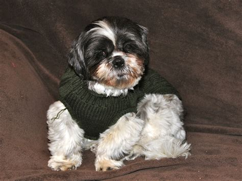 shih tzu sweaters same shih tzu different day journal of three former puppy mill mothers shih tzu
