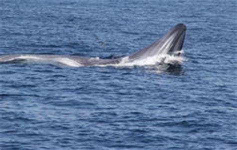 balena alimentazione la bocca della balena foto stock 79 la bocca della