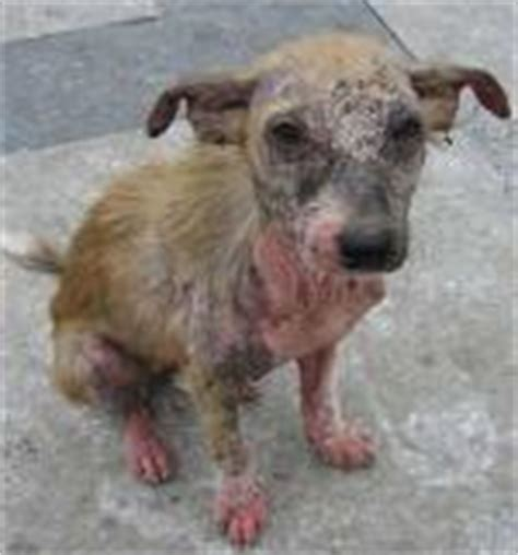 sarcoptic mange in dogs sarcoptic mange mites and your causes prevention