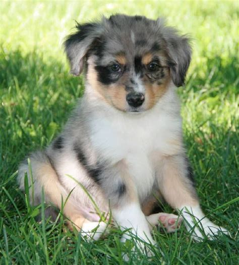 australian shepherd puppies for sale in iowa 1000 id 233 es sur le th 232 me australian shepherd sur bleu merle chiots