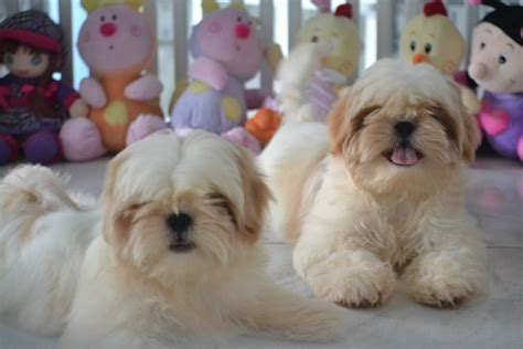 photos of shih tzu dogs shih tzu dogs photo and wallpaper beautiful shih tzu dogs pictures