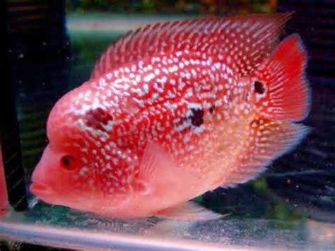 Pakan Ikan Louhan Agar Cepat Merah 10 tips cara memelihara ikan louhan agar