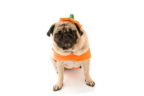 can pugs eat oranges can dogs eat pumpkins what about other fall vegetables