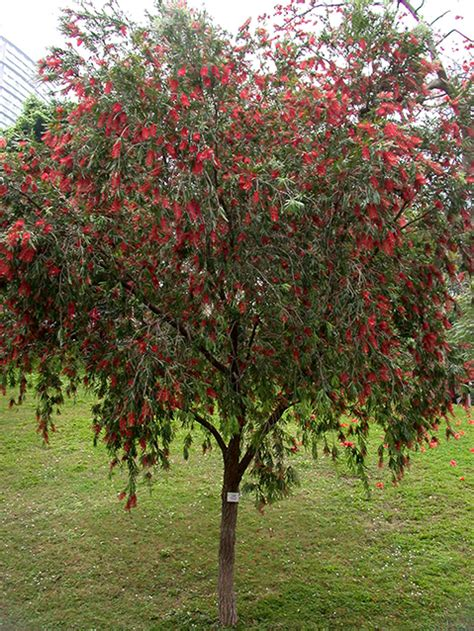 Callistemon Variegata common flowering trees in march to may