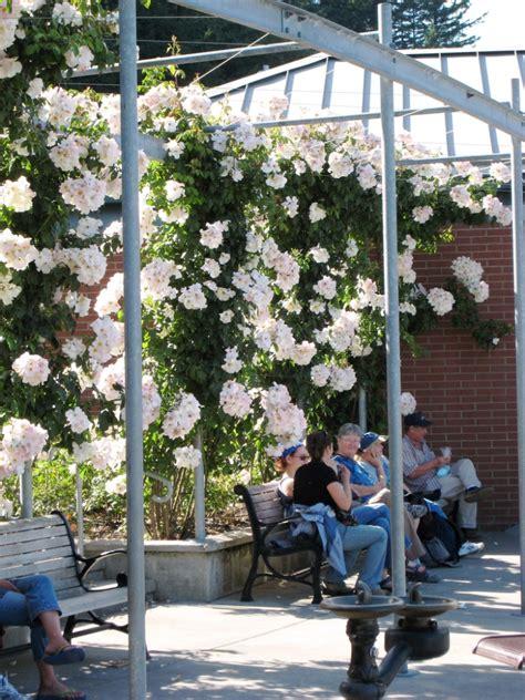 blühende kletterpflanzen winterhart mehrjährig bl 252 hende kletterpflanzen 10 winterharte arten f 252 r garten