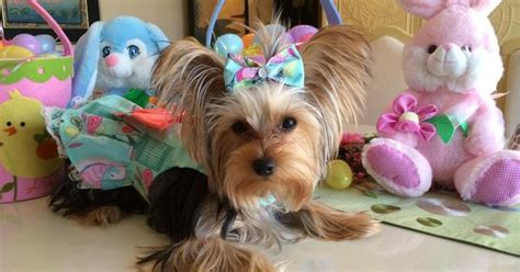 my yorkie smells happy easter from martha who says quot my yorkie splash and shine makes me look