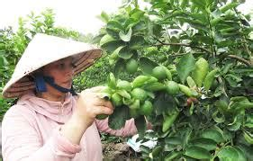 Bibit Tanaman Jeruk Purut Dengan Pot pasca panen jeruk purut tanaman bunga hias