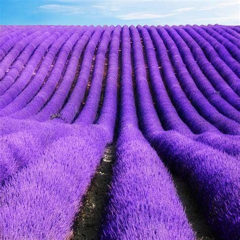 1 Pack Benih Lavender Seed aliexpress buy 100 seeds bag lavender seeds seeds