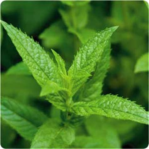 A Powerful Peppermint by The Power Of Peppermint 15 Health Benefits Healthy