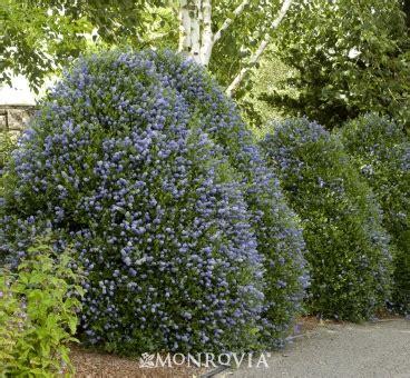 shrubs with blue flowers beautiful evergreen shrub for coastal gardens cobalt