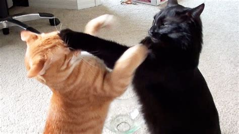 cat vs fight epic cat fight compilation