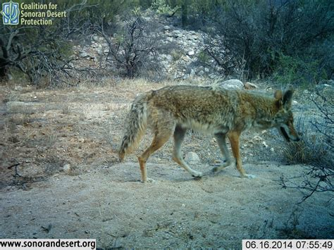 wildlife gallery coalition for sonoran desert protection