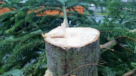 christbaum selber schlagen badisch christbaum selber schlagen schlechte idee