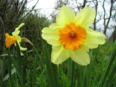 fiori narciso narciso coltivazione fiori in giardino