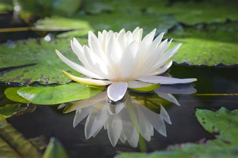 fiori di loto significato colori fiore di loto caratteristiche e significato nelle varie