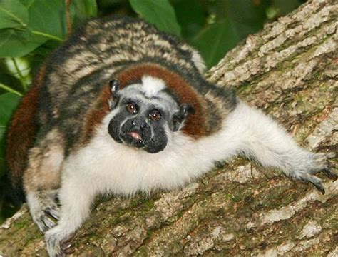 Geoffroy's Tamarin - Small Colorful New World Monkey ...