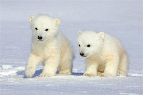 imagenes de hermosos osos osos polares en im 225 genes epdn