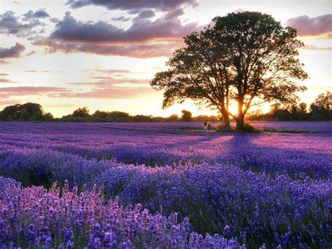 delightful lavender fields united kingdom world for travel