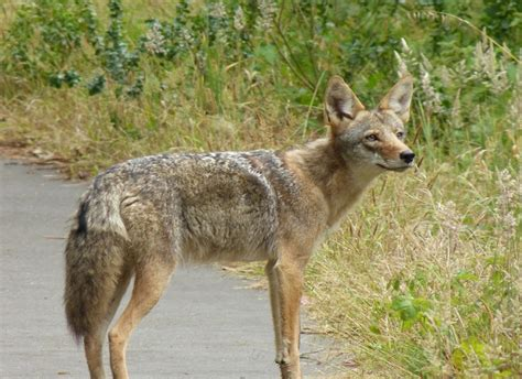 coyote vs coyote vs fox www pixshark images galleries with a bite