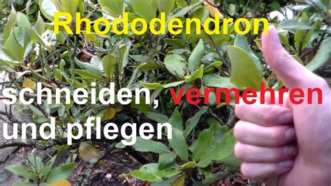 Rhododendron Vermehren by Rhododendron Schneiden Vermehren Rhododendronschnitt Nach