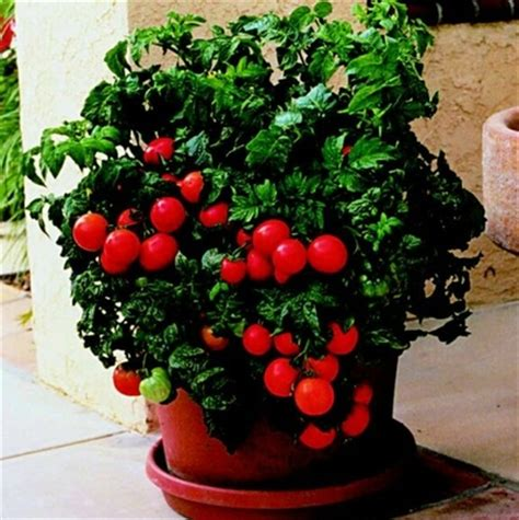 patio tomato greenleaf nursery
