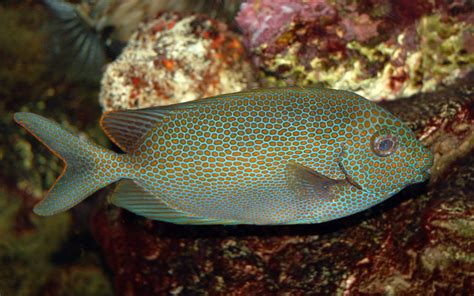 Aquarium by File Goldspotted Spinefoot Saltwater Fish 3008px Jpg