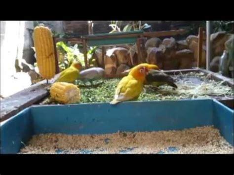 Tempat Makan Burung Koloni ternak lovebird koloni tersukses pakai kandang besar