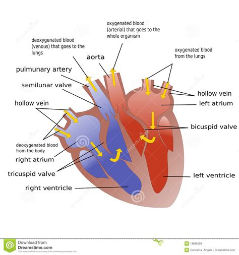 sections of the heart progress of blood through heart royalty free stock photos