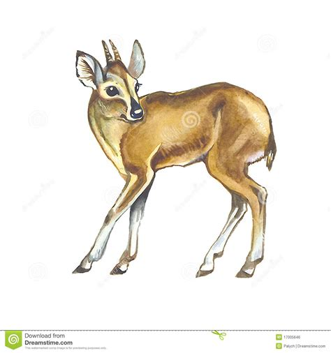 duiker stock illustration image of hairy browser brown