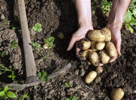 kartoffeln im garten kartoffeln ernten im august garten news garten