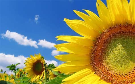 girasole fiore significato fiore di girasole significato dei fiori