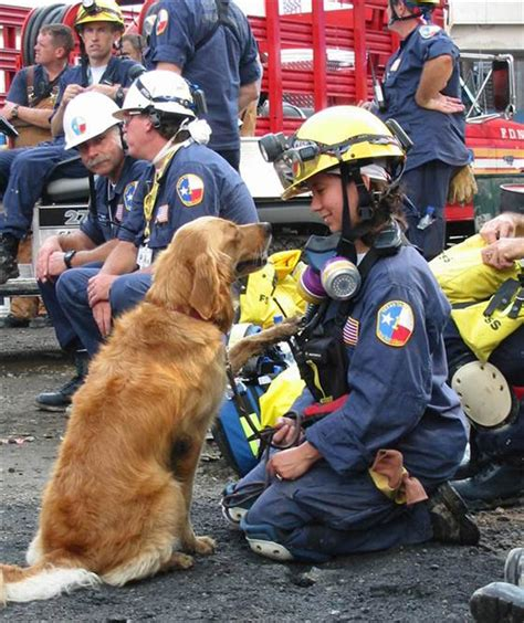 retired show dogs for adoption golden retriever meet the last 9 11 rescue still alive