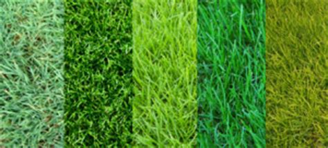 types of grass frisco sod grass