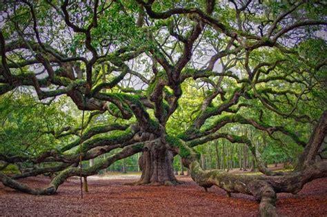 gambar tanaman langka angel oak jenis tanaman terbaru