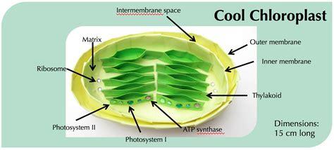 diagram of a chloroplast diagram of chloroplast diagram site