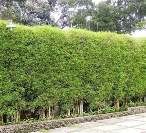 tanaman bambu jepang japanese arrow bamboo bibitbungacom