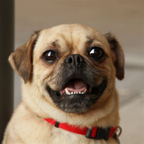 are pugs hypoallergenic puggle cats image search results