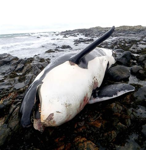 killer whale plastic dead killer whale washes up on in britain nature
