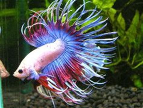 Ikan Cupang Crowntail Royal Blue fishies on betta siamese fighting fish and half moons